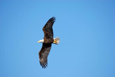 9_12_20 Bald Eagle
