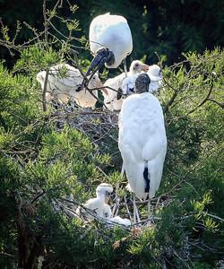 9_6_20 Wood Stork Family