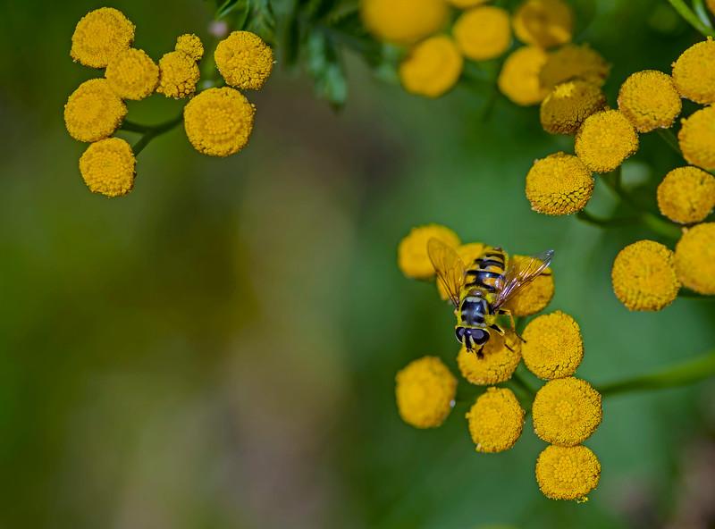 Hoverfly: Myathropa florea (female).
