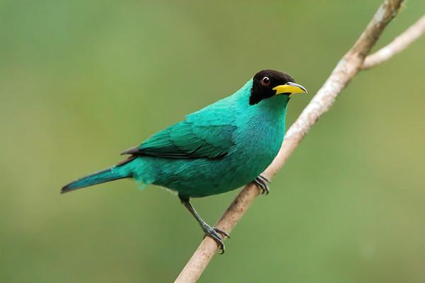 Green Honeycreeper (male)