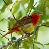 Summer Tanager Feather Fluffing