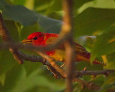 Summer Tanager in the Trees