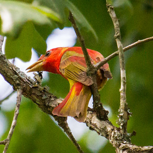 Summer Tanager in  Tree at KOA in Tn