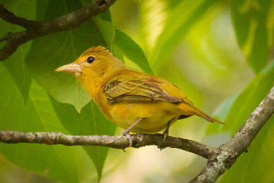 Summer Tanager Female Crouched in Tree