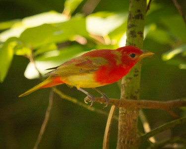 Male Summer Tanager Portrait