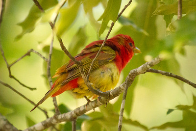 Male Summer Tanager Fluffed Up