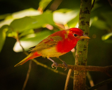 Tanager on a Limb