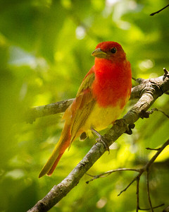 Summer Tanager on Natchez