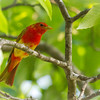 Male Summer Tanager on Limb