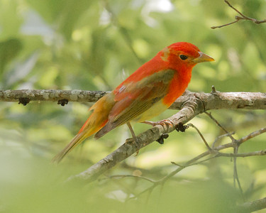 Summer Tanager near Hohenwald