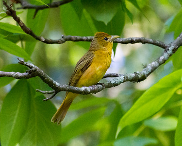 Yellow Female Summer Tanager