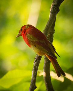 Summer Tanager Observing Me