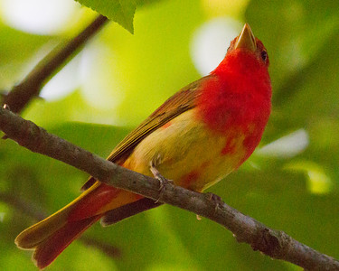 Up in the Tree Summer Tanager