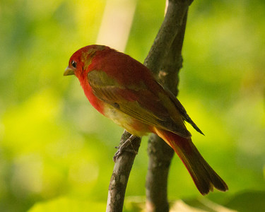 Summer Tanager Male from the Back