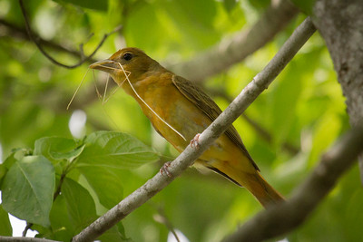 Female Summer Tanager Nest Building