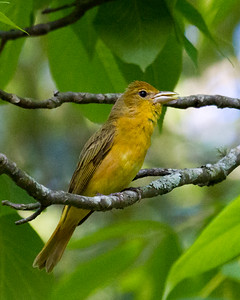 Summer Tanager Singing