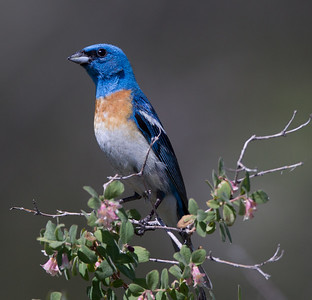 Lazuli Bunting Virginia Lakes Finch 2018 06 27-1.CR2