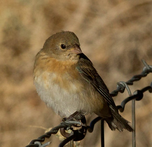 Lazuli Bunting  Coso Junction 2012 09 15 (2 of 3).CR2