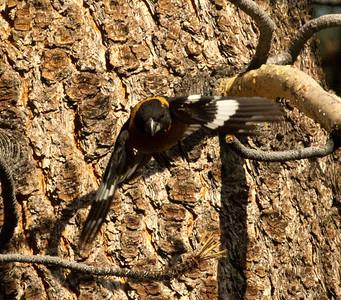 Blackheaded Grosbeak  Mammoth Lakes 2011 07 29-8.CR2