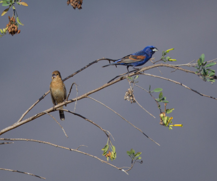Blue Grosbeak  Camp Pendleton 2014 05 26-2.CR2