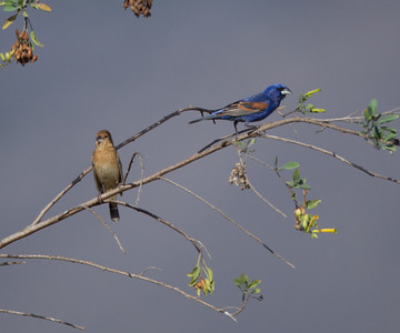 Blue Grosbeak  Camp Pendleton 2014 05 26-2.CR2