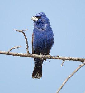 Blue Grossbeak  Camp Pendleton 2018 04 28-1.CR2