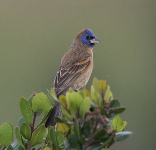 Blue Grosbeak  San Elijo Lagoon 2016 05 07-2.CR2