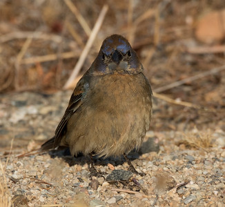 Blue Grosbeak  Cramer Junction 2015 05 25-1.CR2