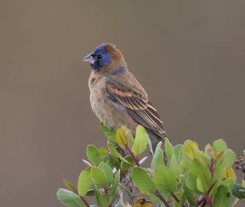 Blue Grosbeak  San Elijo Lagoon 2016 05 07-1.CR2