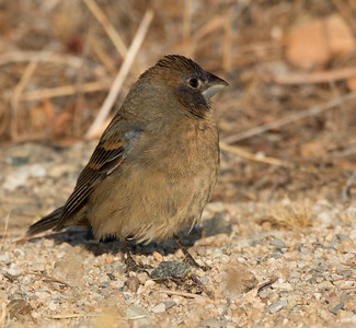 Blue Grosbeak  Cramer Junction 2015 05 25-2.CR2