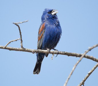 Blue Grossbeak  Camp Pendleton 2018 04 28-3.CR2