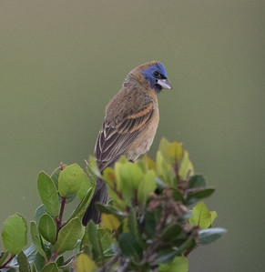 Blue Grosbeak  San Elijo Lagoon 2016 05 07-3.CR2