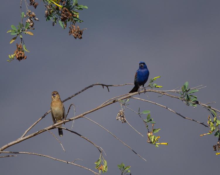 Blue Grosbeak  Camp Pendleton 2014 05 26-3.CR2