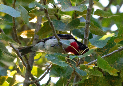 Rose-Breasted Grosbeak San Elijo Lagoon 2011 07 07-2.CR2