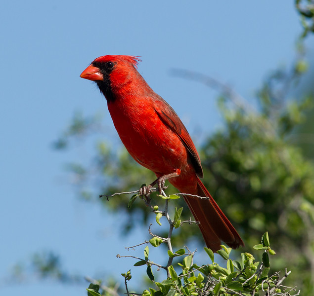 Northern Cardinal  South Texas 2012 03 23-2.CR2