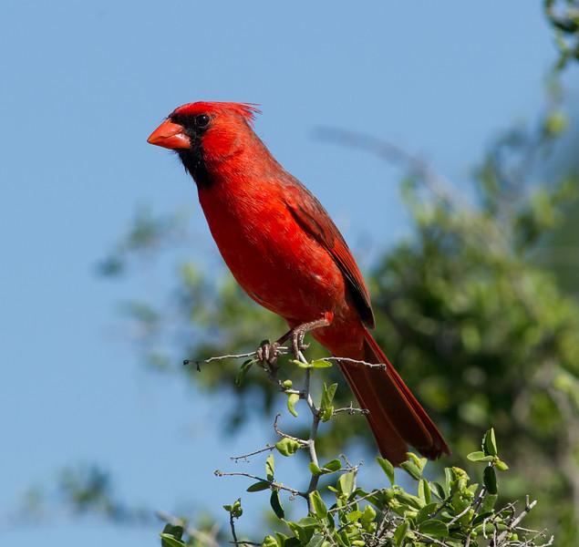 Northern Cardinal  South Texas 2012 03 23-2.CR2