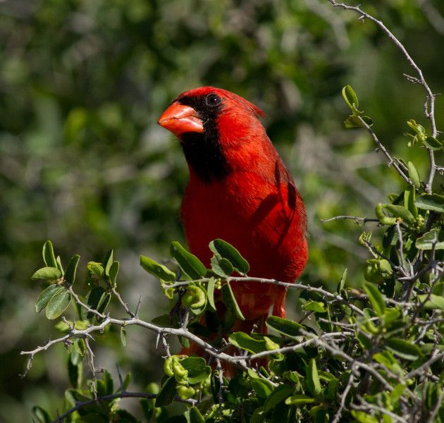 Northern Cardinal  South Texas 2012 03 23-1-1.CR2