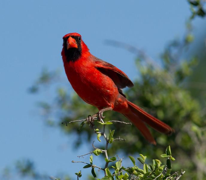 Northern Cardinal  South Texas 2012 03 23-3.CR2