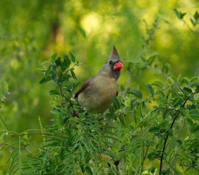Northern Cardinal  South Texas 2012 03 23-1.CR2