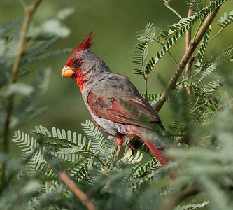 Pyrrhuloxia  near Ramsey Canyon Arizona 2011 08 19-6.CR2