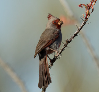 Pyrrhuloxia  Tucson Mountain Park 2016 04 30-3.CR2