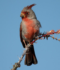 Pyrrhuloxia  Tucson Mountain Park 2016 04 30-6.CR2