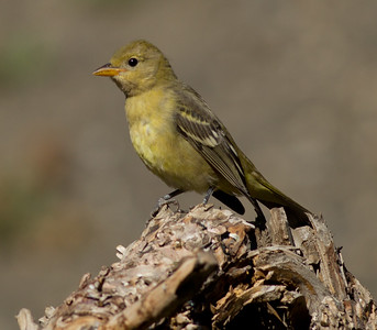 Western Tanager Mammoth Lakes 2013 08 15 (2 of 2).CR2