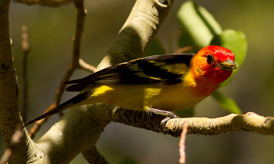 Western Tanager  Rock Creek Canyon 2012 06 18 (5 of 6).CR2