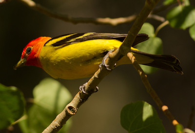 Western Tanager  Rock Creek Canyon 2012 06 18 (6 of 6).CR2