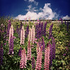 Lupins lupins everywhere