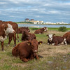 Ringhals nuclear power plant with a group of cows in the foreground. Ringhals is the largest nuclear power plant in Sweden, with three PWRs and and one BWR.
