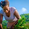 Vanuatu, Tanna, Tanna Farms, Peanut Harvest, 2016 Feb, #28