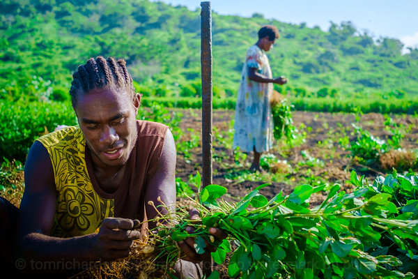 Vanuatu, Tanna, Tanna Farms, Peanut Harvest, 2016 Feb, #24