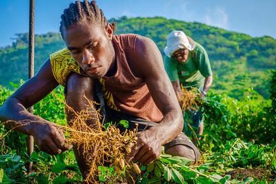 Vanuatu, Tanna, Tanna Farms, Peanut Harvest, 2016 Feb, #16